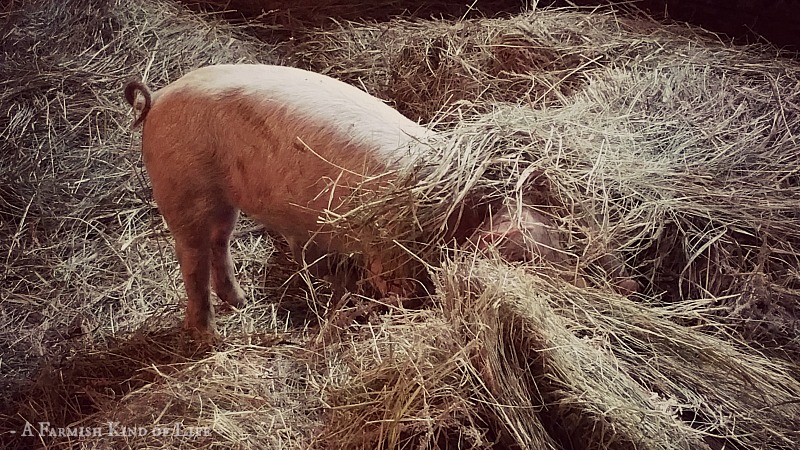 When Pigs Get Out: A Farm Drama - A Farmish Kind of Life