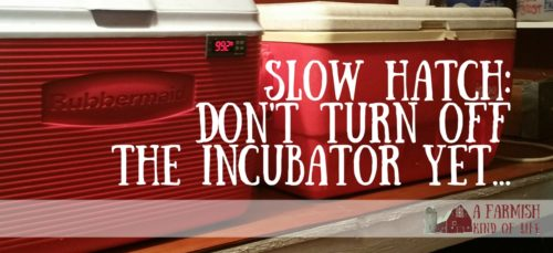 Worried because your chicks were supposed to hatch today and nothing is happening? Don't turn off that incubator just yet...