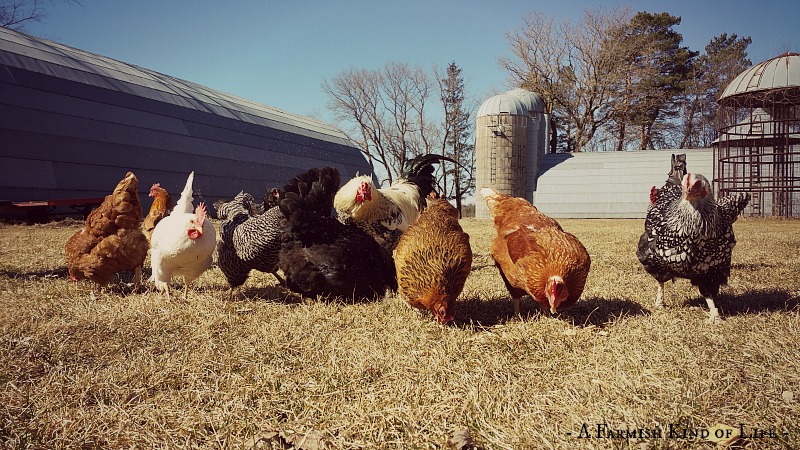 5 Truths About Free Range Chickens - A Farmish Kind of Life