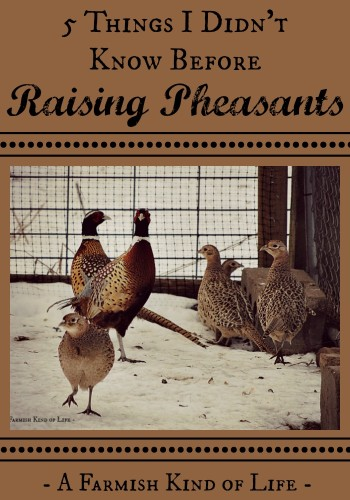 Thinking about adding pheasants to your homestead? Here are some things I learned after we added them to ours. -- Five Things I Didn't Know Before Raising Pheasants - A Farmish Kind of Life