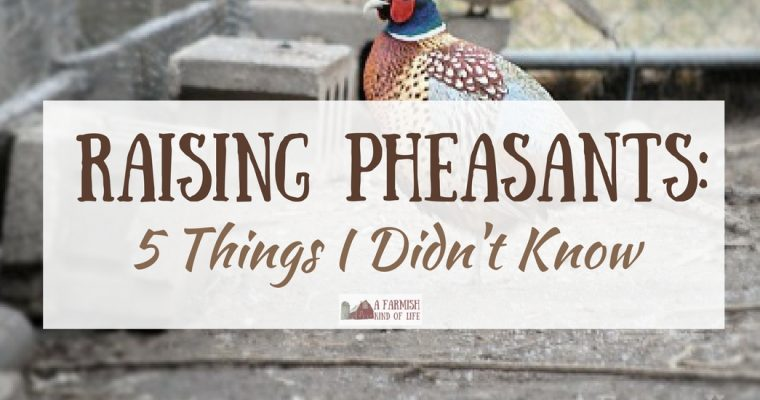 Raising Pheasants: 5 Things I Didn't Know