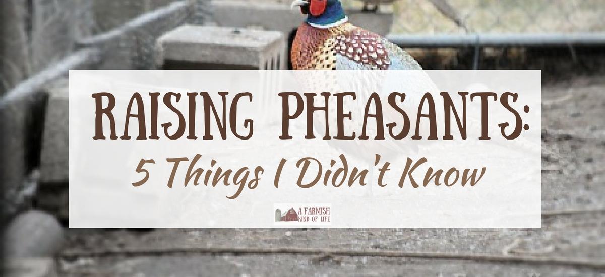 Raising Pheasants: 5 Things I Didn't Know