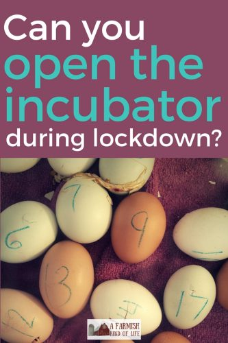 Most books say you shouldn't open the incubator in the last three days of incubation or you risk ruining your hatch. But is it true?