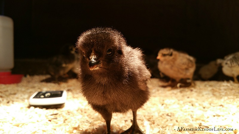 Should You Help a Chick Hatch?
