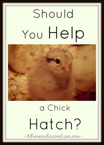 When you see a chick struggling to hatch...should you help it out? My thoughts on the matter... -- Should You Help a Chick Hatch? - A Farmish Kind of Life
