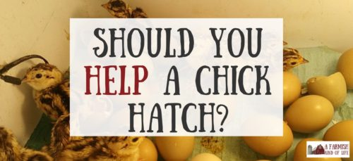 Should you help a chick hatch, or are you doing more harm than good? Should you let nature take its course? Here are my thoughts on the matter.