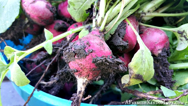 The Best Way to Eat Radishes is Fried! - A Farmish Kind of Life