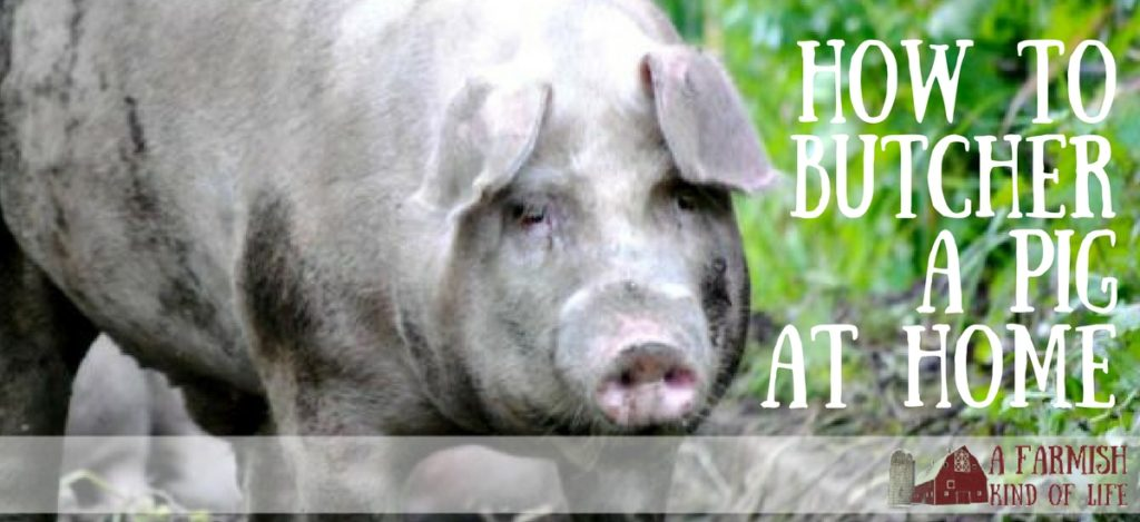 You don't have to send your homegrown pork away to get processed. Here's how to handle butchering your pig at home. - How to Butcher A Pig At Home - A Farmish Kind of Life
