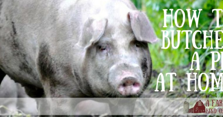 How to Butcher a Pig at Home