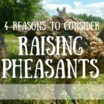 4 Reasons Why You Should Raise Pheasants