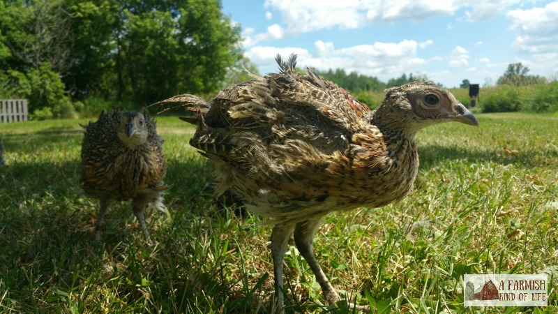 If you have room and are looking for a new adventure, here are four reasons you might want to raise pheasants at your homestead or farm.