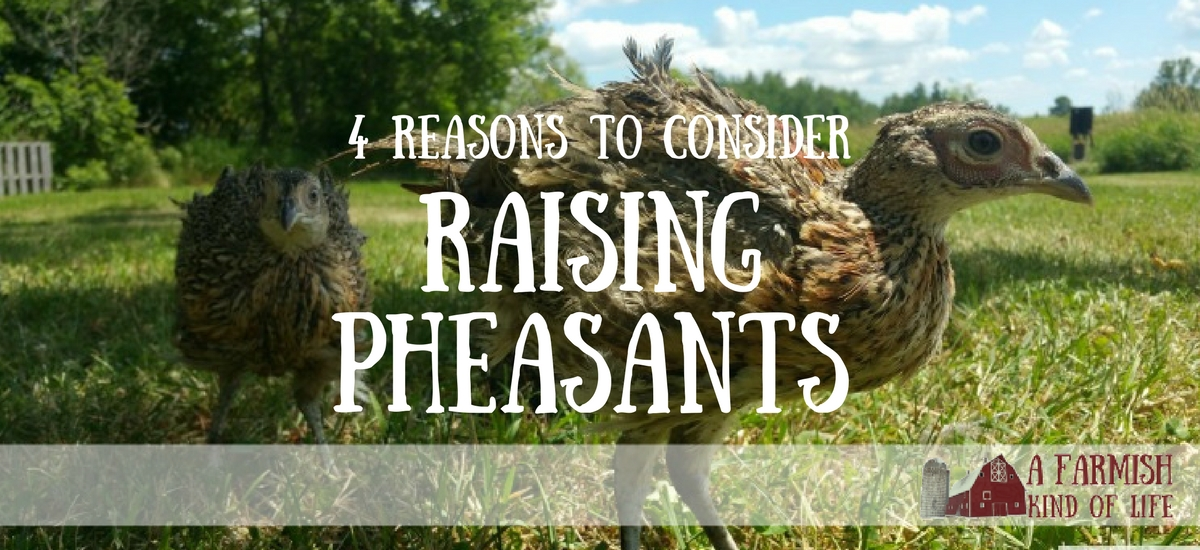 4 Reasons Why You Should Raise Pheasants