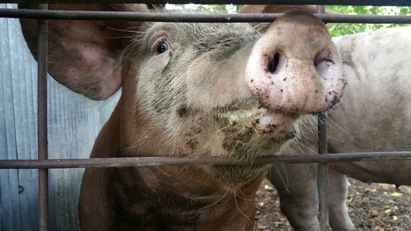 As a homesteader, does butchering animals bother me? The short answer is no. The long answer is hopefully made clear in this article.