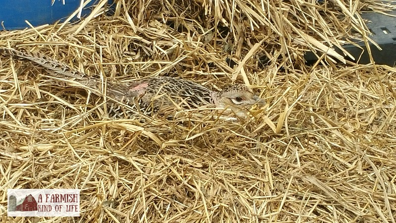 Want to raise pheasants but aren't sure how to go about it? Here are a few questions I'm often asked about incubating and hatching pheasant chicks.