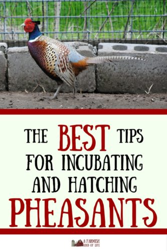 Looking for tips on how to incubate and hatch pheasants? Here are some of the most frequently asked questions we get about doing just that.