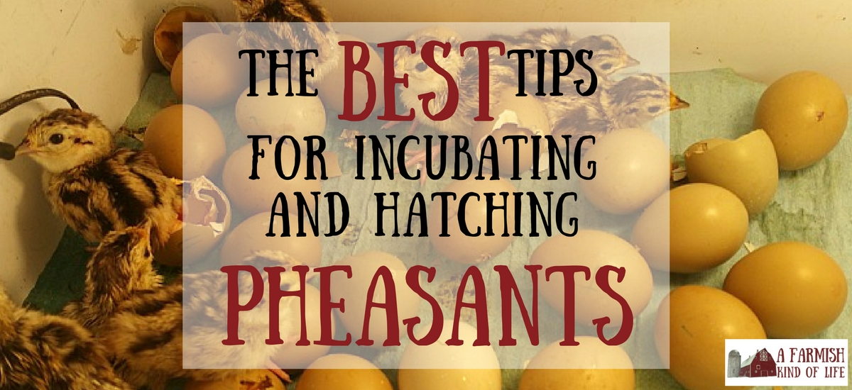 The Best Tips for Incubating and Hatching Pheasant Chicks