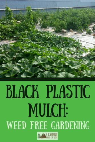 Think having a weed-free garden is just a dream? Use black plastic mulch on your vegetable garden, and someone might just have to pinch you!