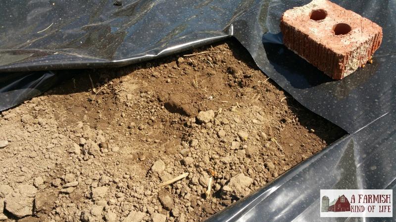 Black Plastic Mulch Weed Free Gardening A Farmish Kind