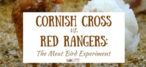 So, who won the mighty battle between Cornish Cross vs. Red Rangers at our farm? Results are in and we're letting you know our thoughts on these meat birds.
