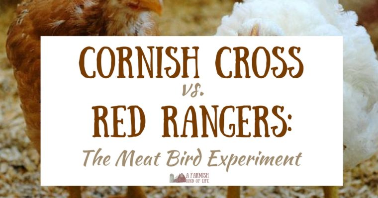 Cornish Cross vs. Red Rangers: Our Meat Bird Experiment
