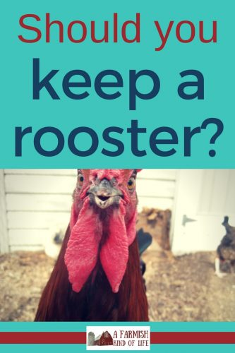 You've decided to add hens to your homestead. Will you be keeping a rooster as well? Here are a few things to consider when making your decision.