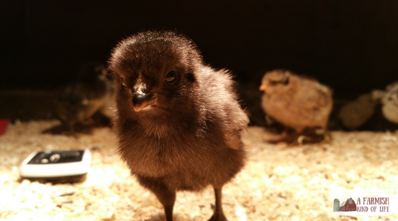 Hatching chicks is a self-sufficient way to increase the number of chickens on your farm. But should you hatch chicks with an incubator...or a broody hen?