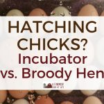 Hatching Chicks? Incubator vs. Broody Hen