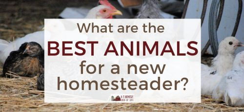 What are the best animals for a new homesteader? Here are my thoughts on things to consider, and why at some point you just need to jump in and do it.