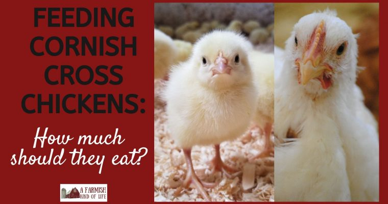 Feeding Cornish Cross Chickens: How Much Should They Eat?