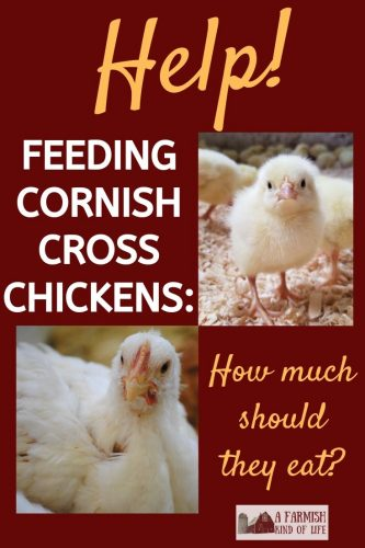 Feeding Cornish Cross chickens the right way is important to avoid leg issues, heart attacks, and early death. Here are my tips for feeding them right.
