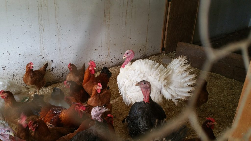Our Broad Breasted white and bronze turkeys with a batch of Red Rangers we raised.
