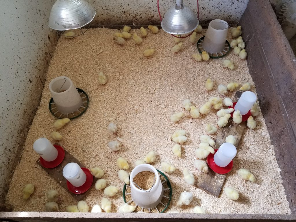 Cornish cross chicks and Broad Breasted white turkey poults in their brooder set up.