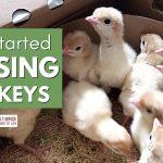 145: Get started with raising turkeys