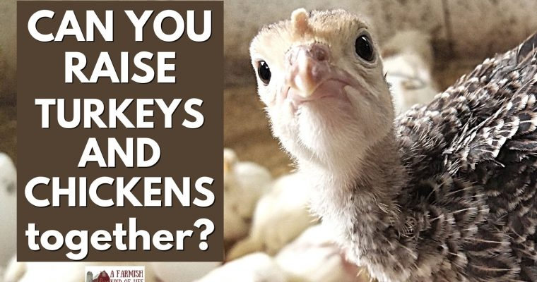 Can You Raise Turkeys and Chickens Together?