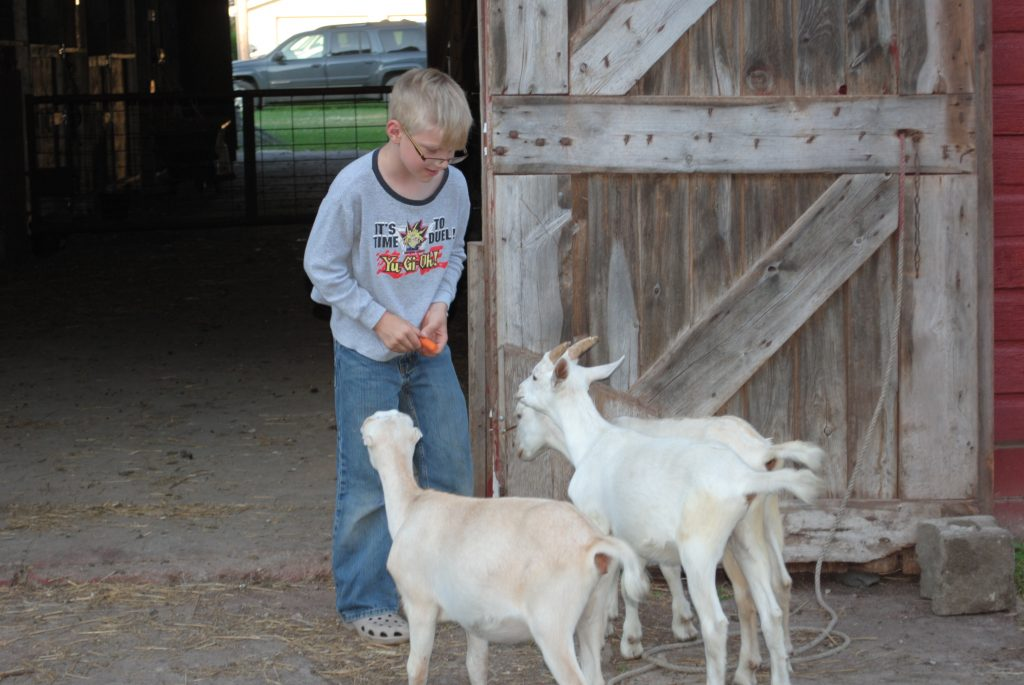 My son feeding a carrot to three of our goats.