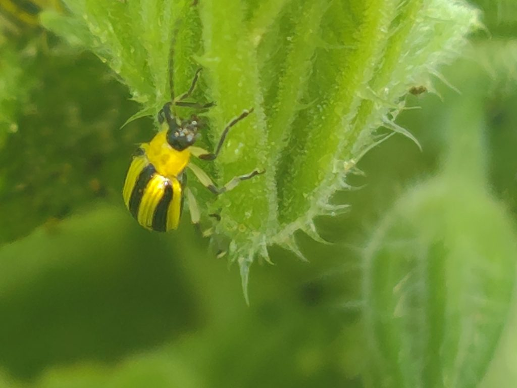 Close up of a cucumber beetle on a plant